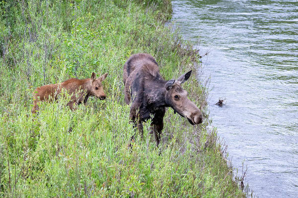 Photograph - Cow And Calf Moose by Michael Chatt