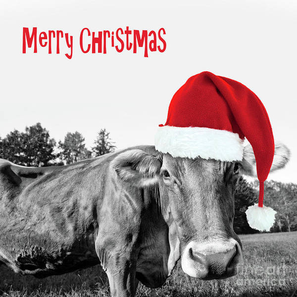Wall Art - Photograph - Cow Christmas Card by Delphimages Photo Creations