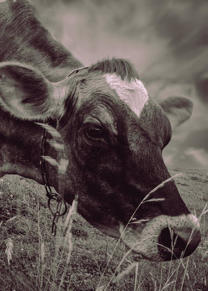 Photograph - Cow Eating Grass Bw by Bob Orsillo