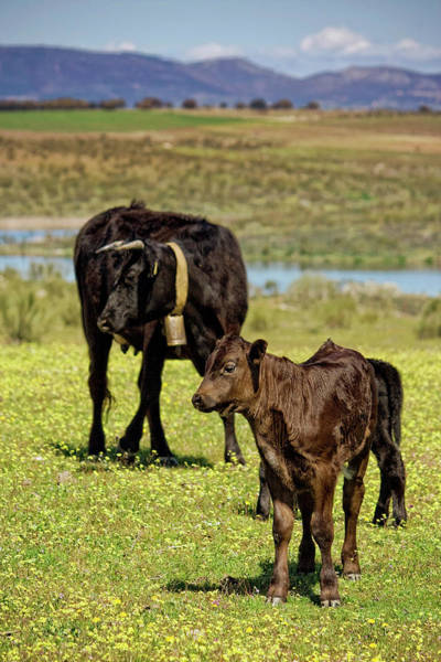 Cow Photograph - Cow Family by Ondacaracola Photography