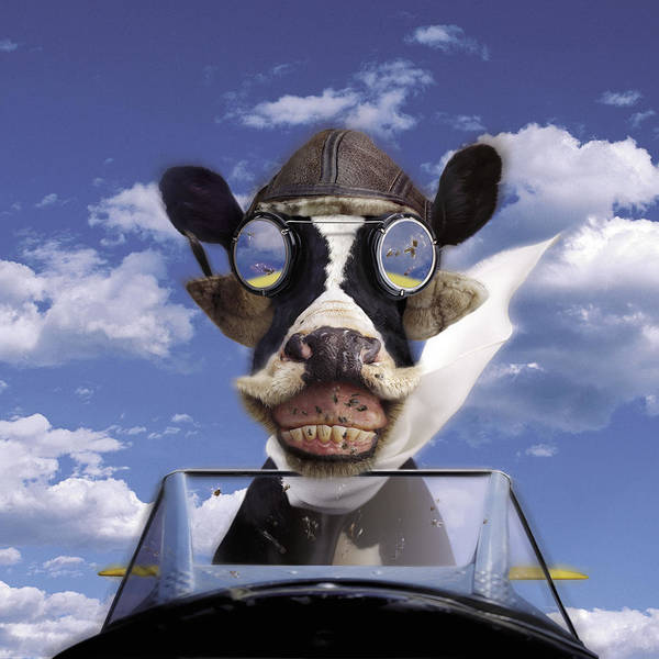 Domestic Cattle Photograph - Cow Flying A Plane by Pam Francis
