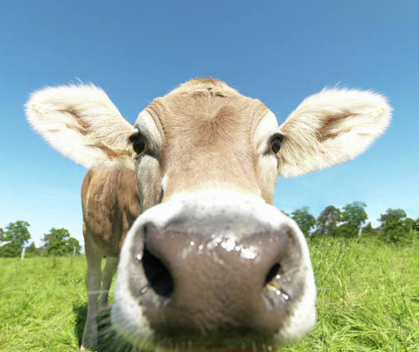 Livestock Photograph - Cow In Field, Close-up by Jlph