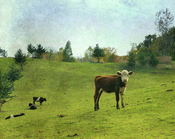 Little People Photograph - Cow In Field by Lynn Harris - The Little Red Hen