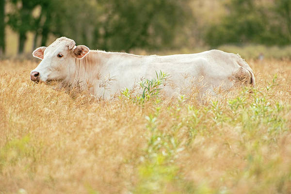 Photograph - Cow In The Countryside by Rob D Imagery