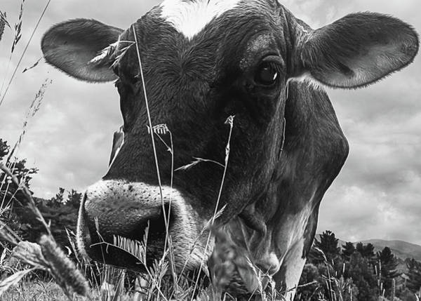 Photograph - Cow In The Grass Bw by Bob Orsillo