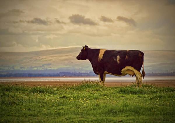Galloway Wall Art - Photograph - Cow Looking At The Sea by Gregdouglas