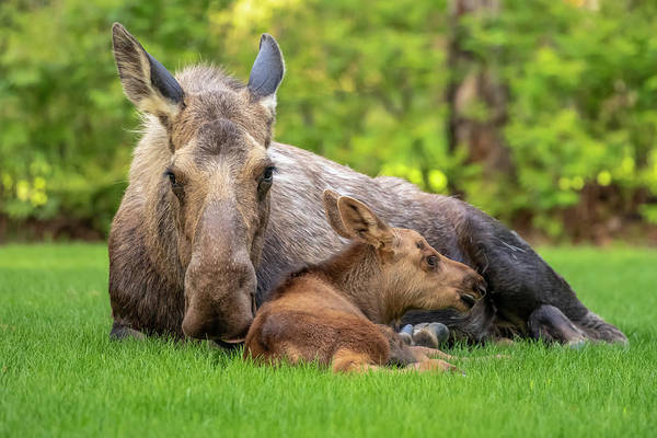 Wall Art - Photograph - Cow Moose  Alces Alces  With Calf Rests by Doug Lindstrand