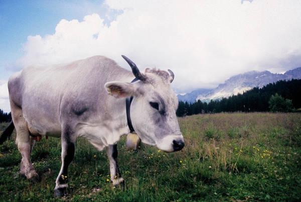 Cow Photograph - Cow On Lavazè Pass by Stefano Salvetti