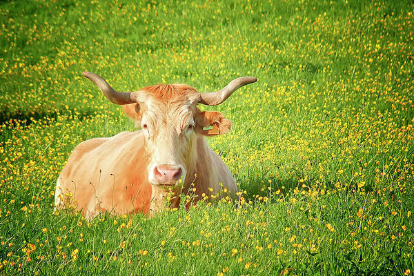 Galicia Photograph - Cow On Meadow by Salomé Fresco
