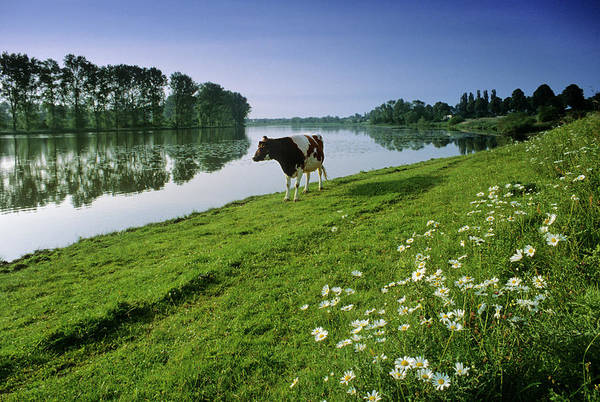 Rhine River Photograph - Cow On The The Riverbank, Birtener Old by Heinz Wohner / Look-foto