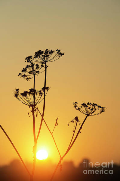 Parsley Photograph - Cow Parsley Seed Heads Silhouette by Tim Gainey