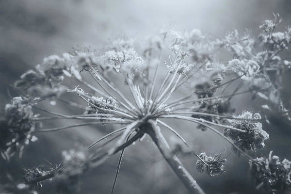 Parsley Photograph - Cow Parsley Winter Frost Black And White  by Carol Japp