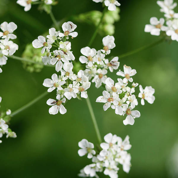Wild Chervil Wall Art - Photograph - Cow Parsley With Some Small Winged Friends by Jouko Lehto