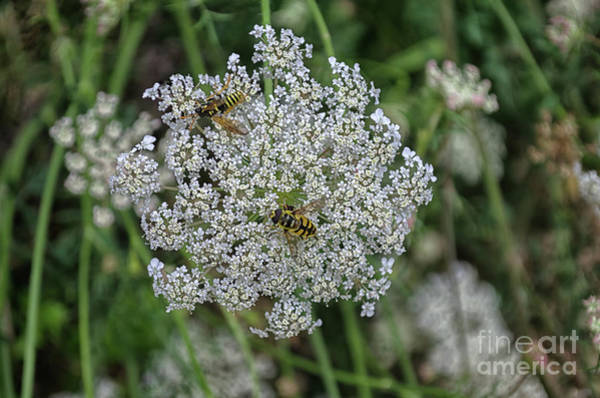 Wild Chervil Wall Art - Photograph - Cow Parsley With Vsitors by Michelle Meenawong