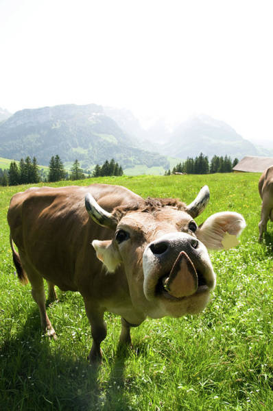 Out Of Context Photograph - Cow Sticking Out Tongue by Assalve