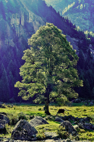 Photograph - Cow Under The Tree by Roberto Pagani