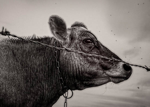 Photograph - Cow With Flies by Bob Orsillo