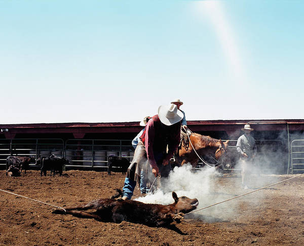 Branding Iron Photograph - Cowboy Branding Calf by Andrew Geiger