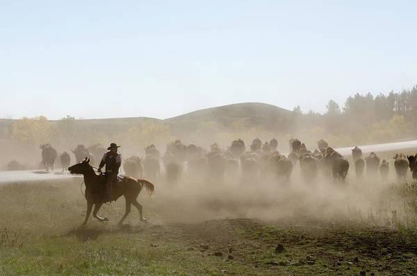 Farm Photograph - Cowboy Pushing Herd At Bison Roundup by Sergio Pitamitz / Robertharding