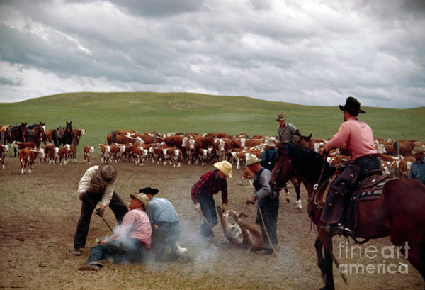 Photograph - Cowboys Hogtie And Brand Cattle On The Abbott Ranch. by B Anthony Stewart