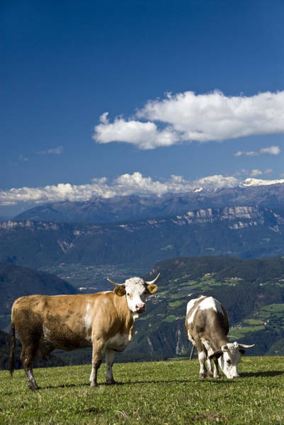 Looking Down Photograph - Cows, Alpe Di Siusi, Dolomites, Italy by Dennis K. Johnson