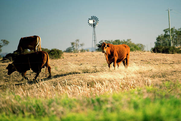 Photograph - Cows And A Windmill In The Countryside. by Rob D Imagery