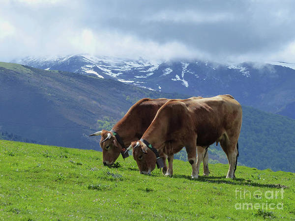 Photograph - Cows - Cantabrian Mountains by Phil Banks