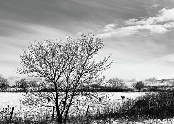 Wall Art - Photograph - Cows Clouds And Cold by Marilyn Hunt