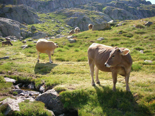 Photograph - Cows Grazing by By Pere Ramon