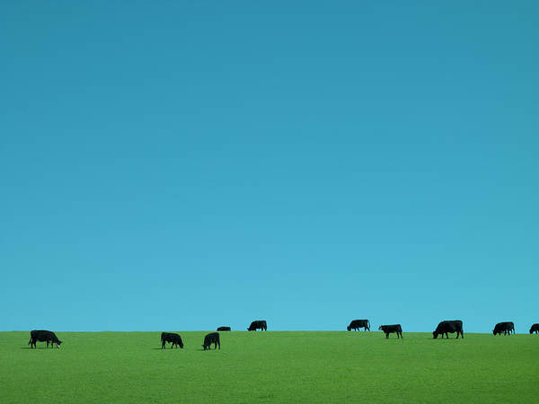Livermore Wall Art - Photograph - Cows Grazing by David Stuart