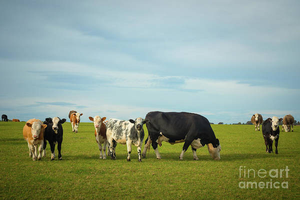 Wall Art - Photograph - Cows Grazing In Pasture by Amanda Elwell