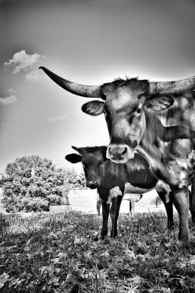 Photograph - Cows Grazing  by Joseph Caban