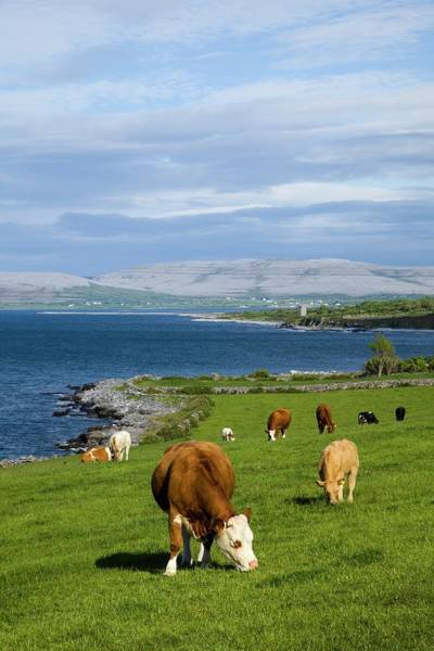 Clare Photograph - Cows Grazing On The Burren Coast Near by Design Pics / Peter Zoeller
