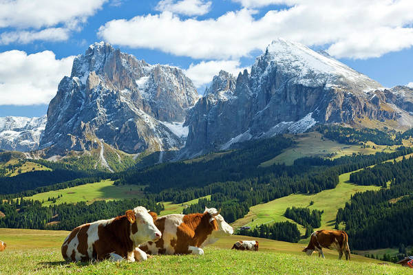 Cow Photograph - Cows In Fields, South Tyrol, Italy by Peter Adams