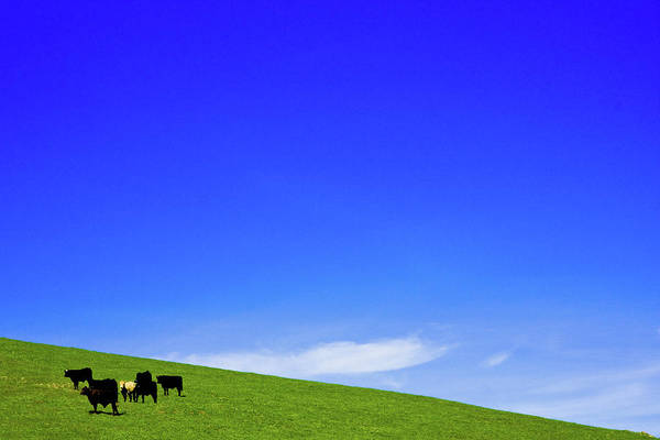 Livermore Wall Art - Photograph - Cows In Hill With Deep Blue Sky by Henrik Johansson, Www.shutter-life.com