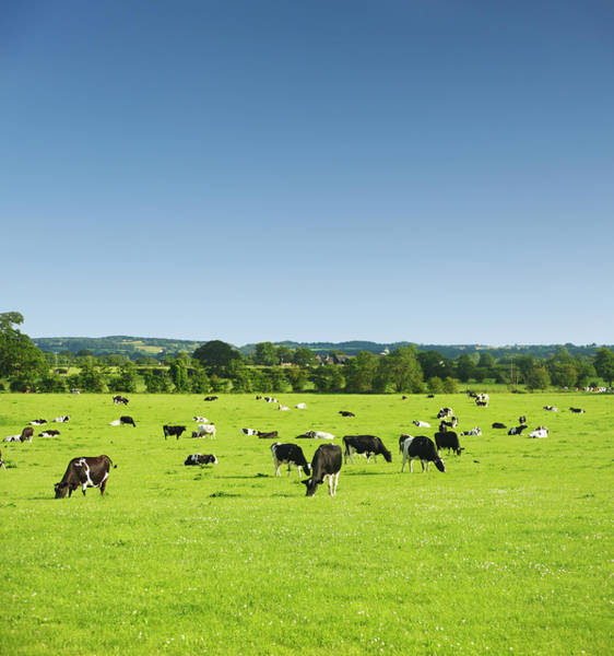 Wall Art - Photograph - Cows In Idyllic Pastures by R-j-seymour