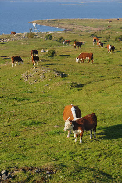 Sea Cow Photograph - Cows In Pasture by Johner Images