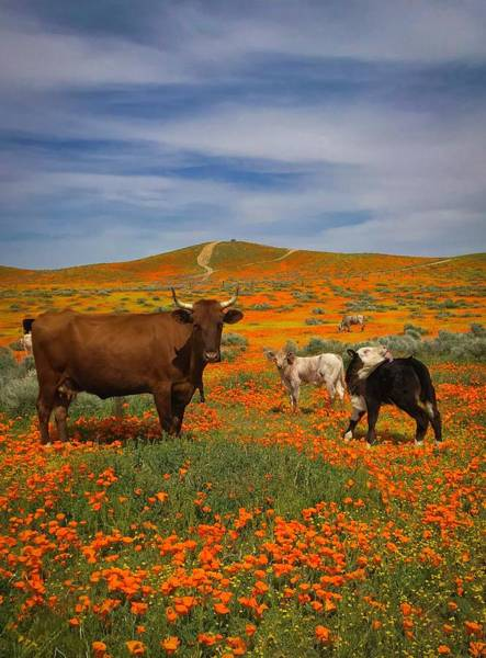 Wall Art - Photograph - Cows In The Poppies by Bridget Calip