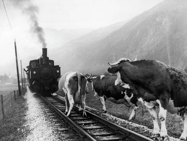 Cow Photograph - Cows In Tyrol In Austria In 1969 by Keystone-france