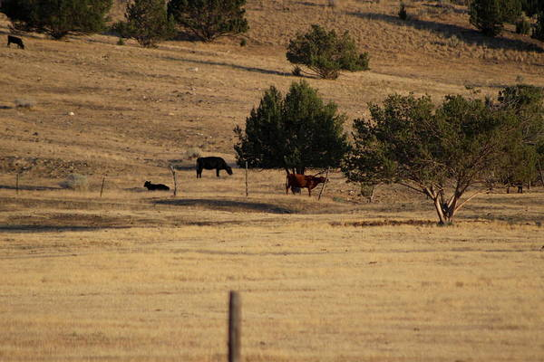 Photograph - Cows In Utah Pastureland  by Colleen Cornelius