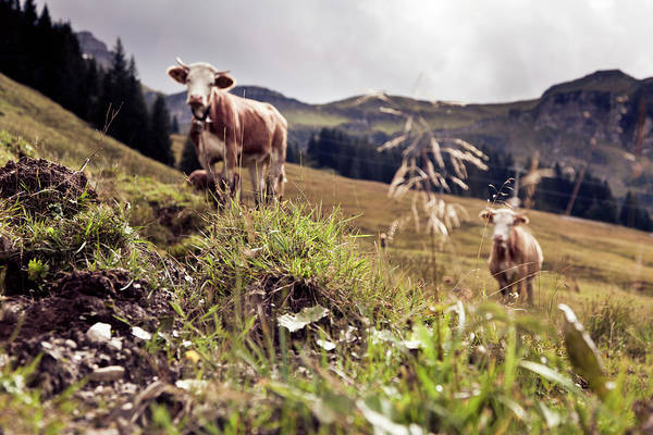 Domestic Cattle Photograph - Cows On An Alpine Pasture by Nullplus