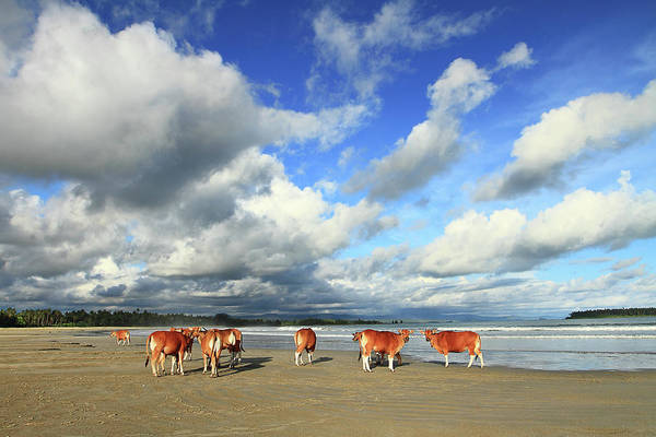 Sea Cow Photograph - Cows On Beach by Photo By Sayid Budhi