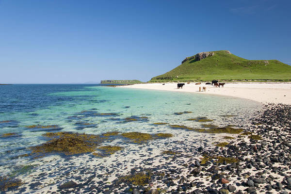 Sea Cow Photograph - Cows On Coral Beach, Near Dunvegan by David C Tomlinson