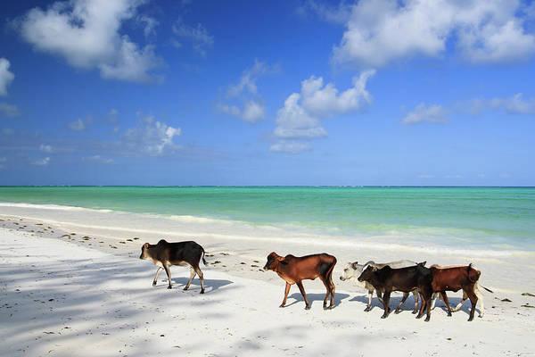 Sea Cow Photograph - Cows On Paradise Beach by Johansjolander