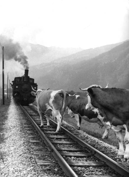 Confrontation Wall Art - Photograph - Cows On The Track by Keystone