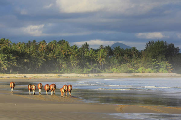 Sea Cow Photograph - Cows Walking On Beach by Photo By Sayid Budhi