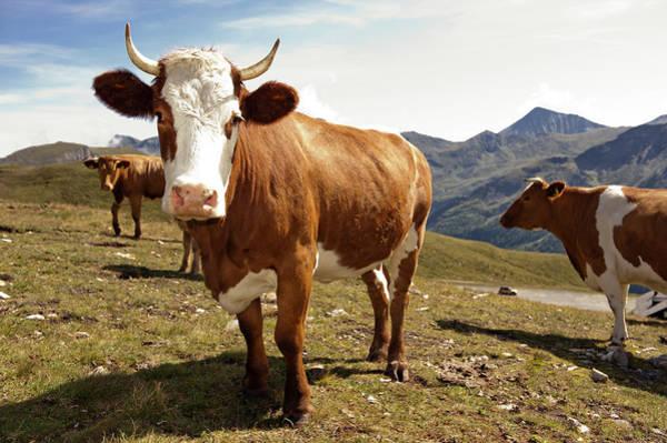 Carefree Photograph - Cows,mount Grossglockner High Alpine by Buero Monaco