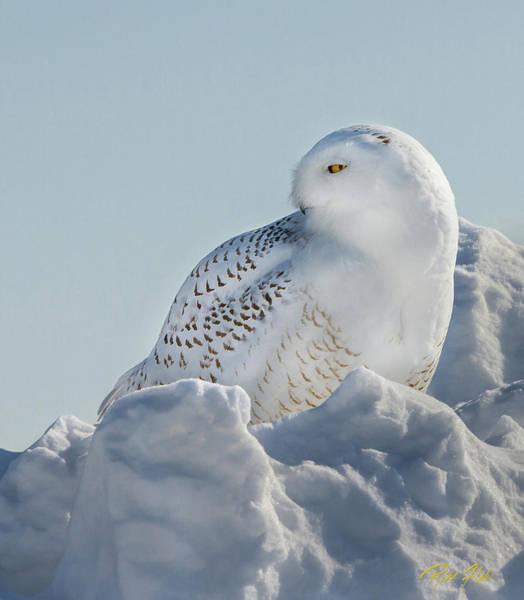 Photograph - Coy Snowy Owl by Rikk Flohr