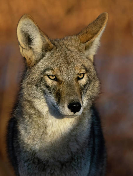 Photograph - Coyote 1 by Rick Mosher