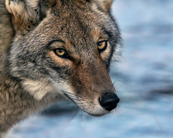 Photograph - Coyote 2 by Rick Mosher